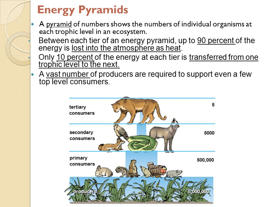 Energy Pyramids A pyramid of numbers shows the numbers of individual organisms at each trophic level in an ecosystem.