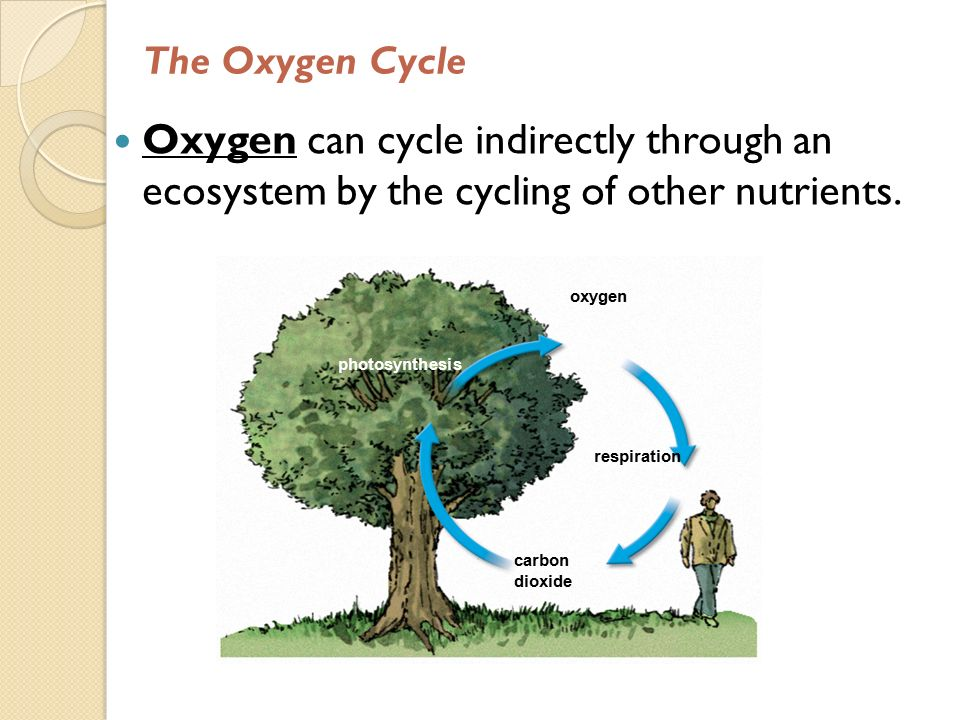 The Oxygen Cycle Oxygen can cycle indirectly through an ecosystem by the cycling of other nutrients.