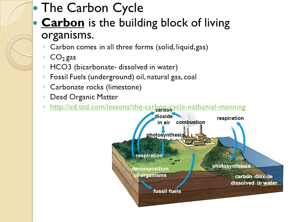 The Carbon Cycle Carbon is the building block of living organisms.