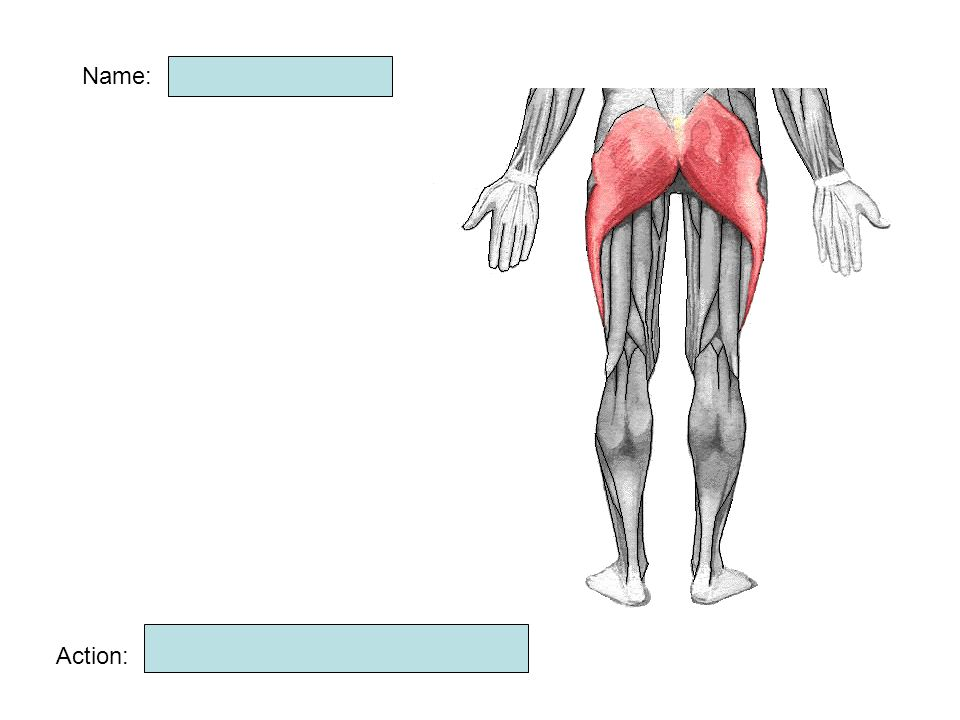Name: Gluteus maximus Muscle Hip extension Action: - ppt video ...