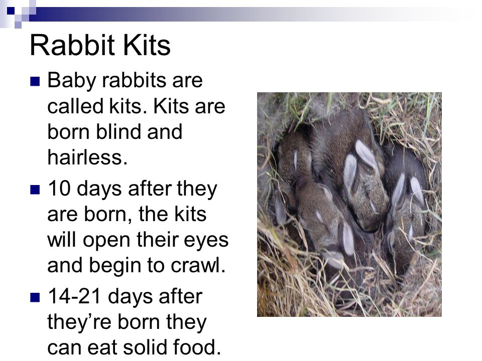 Wild Rabbits Cameron J Ppt Download