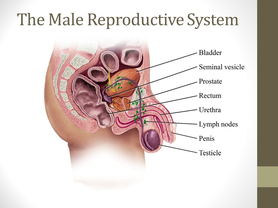 The Male Reproductive System - ppt video online download