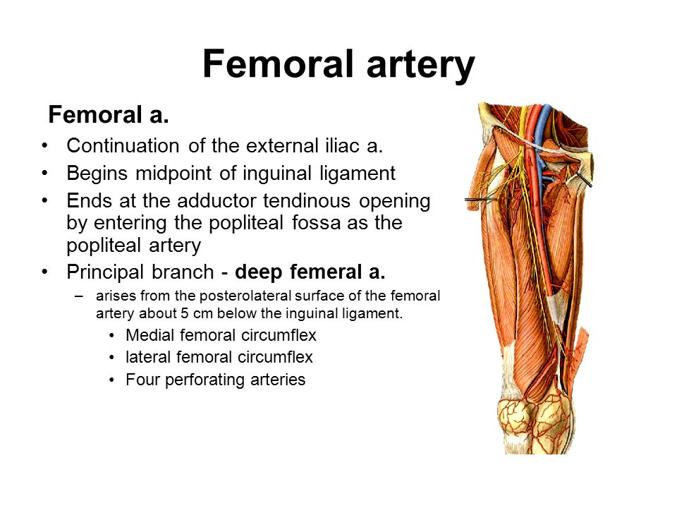 Lower Limb Anterior Compartment Of The Thighs Femoral Triangle