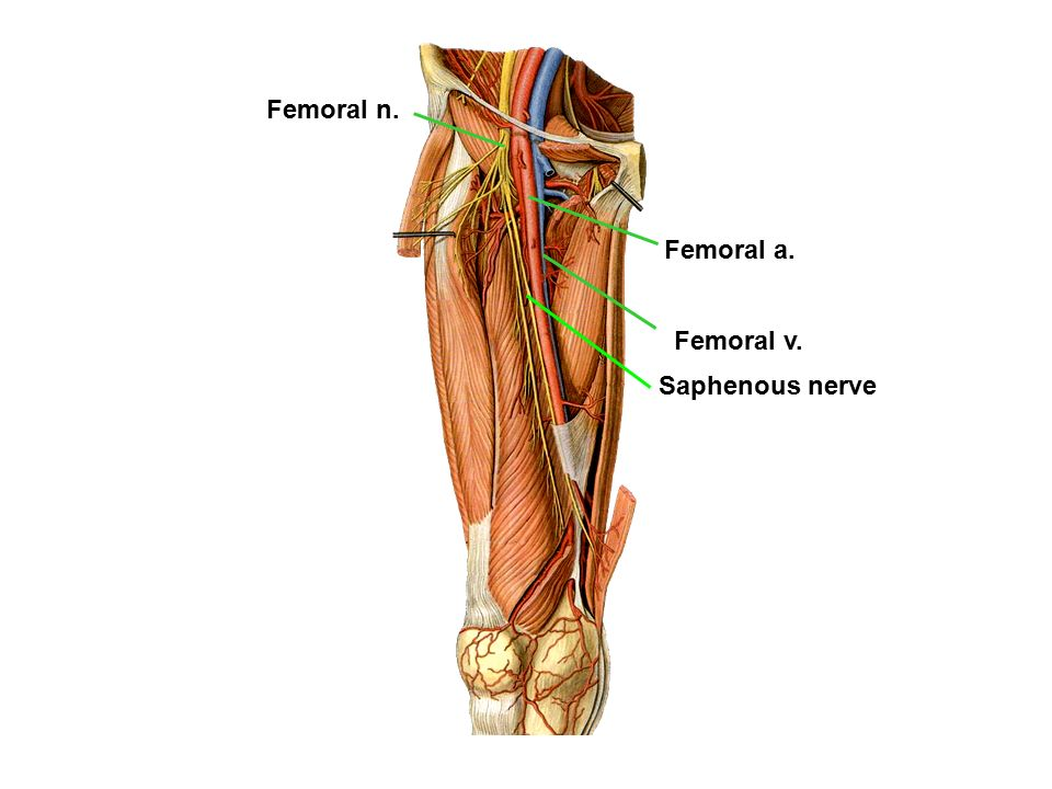 LOWER LIMB Anterior Compartment of the Thighs & Femoral Triangle ...