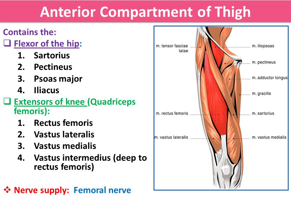 Muscles of the thigh ppt video online download anterior compartment of thigh ccuart Gallery