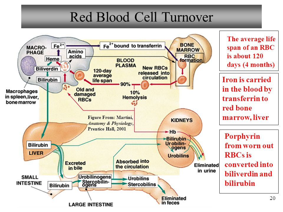 Perfecto Anatomy And Physiology Of Red Blood Cells Regalo - Anatomía ...