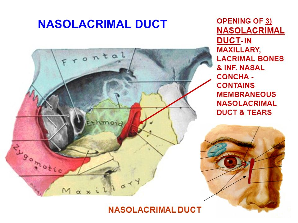 Lacrimal Bone Nasolacrimal Canal Diagram House Wiring Diagram