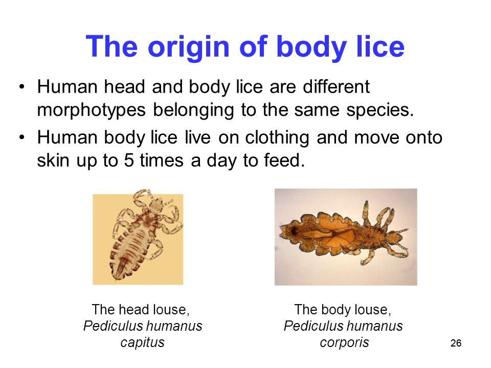A tale of three lice joan sharp and erin barley ppt video online the origin of body lice human head and body lice are different morphotypes belonging to the ccuart Gallery