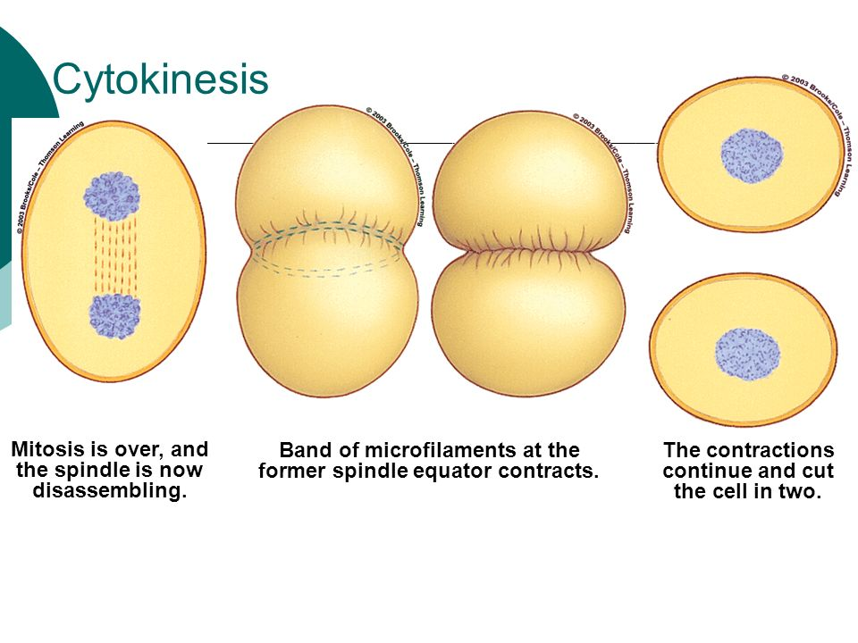 Mitosis & Cytokinesis Chapter ppt video online download