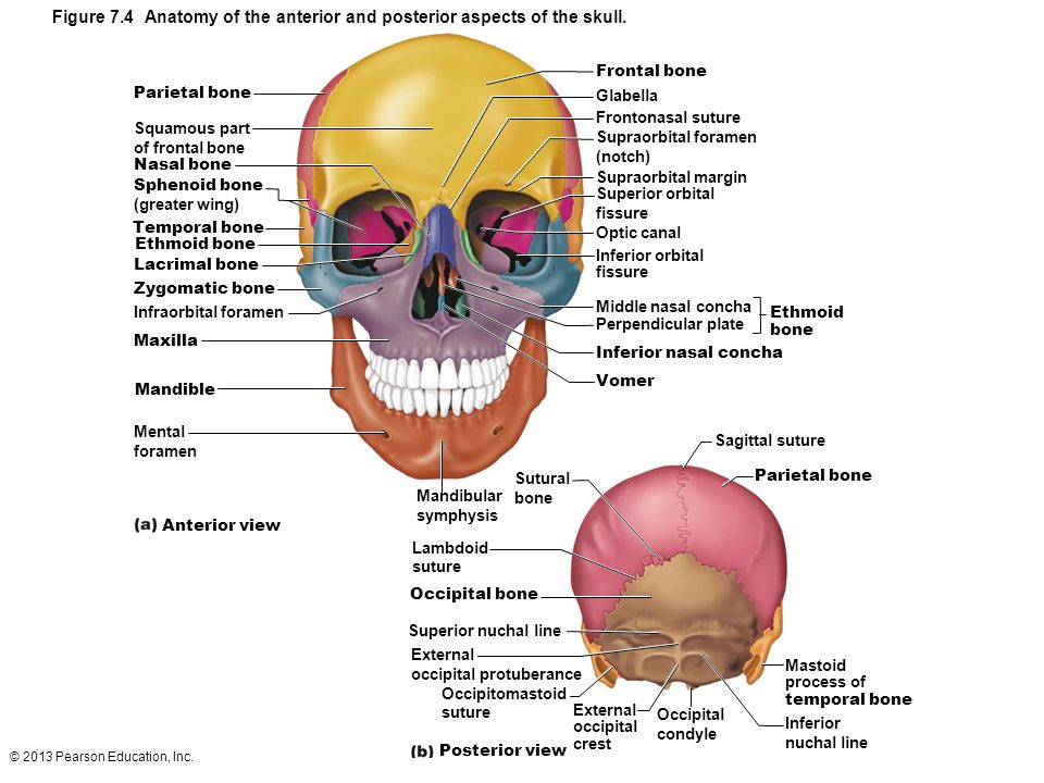 Diagram Of Skull Superior View Anatomy Trusted Wiring Diagram