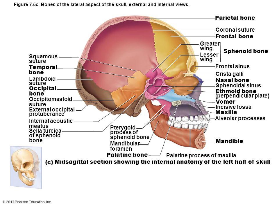Atractivo Anatomy And Physiology Of The Skull Fotos - Imágenes de ...