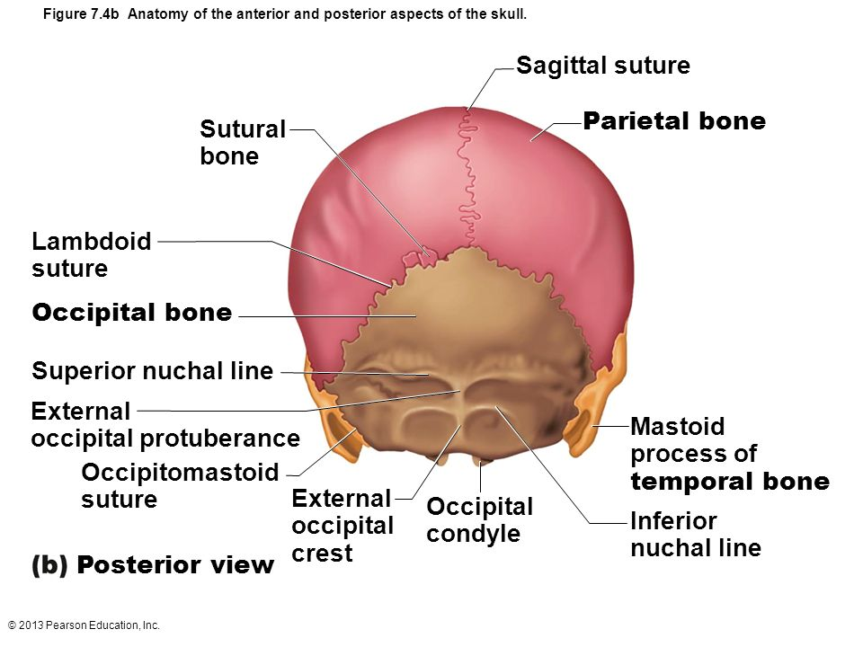Colorful Function Of Mastoid Process Vignette - Anatomy And ...