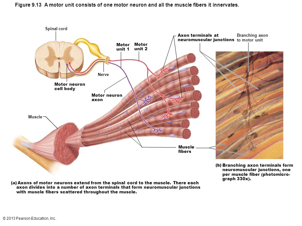 motor unit nerve muscle functional unit ppt video online download For Small Motor Neuron Motor Unit figure 9 13 a motor unit consists of one motor neuron and all the muscle fibers it