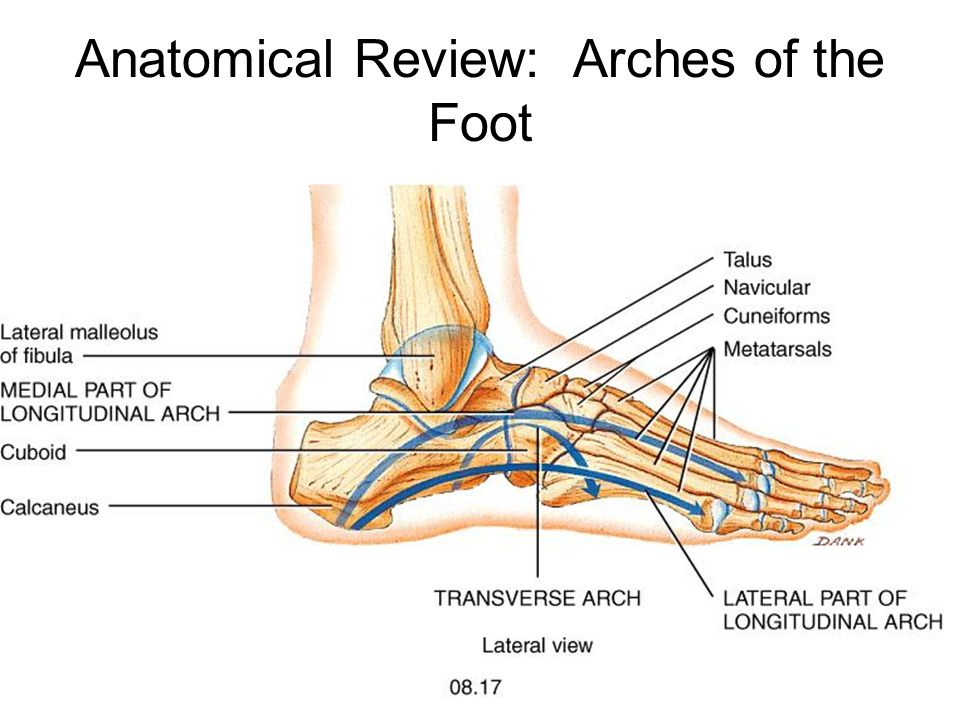 Myology Myology of the Ankle. - ppt video online download