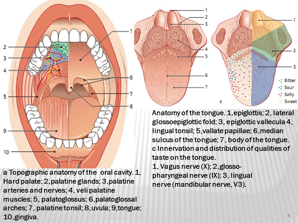 Anatomy Of Lateral Tongue Diagram - Wiring Diagram & Electricity ...