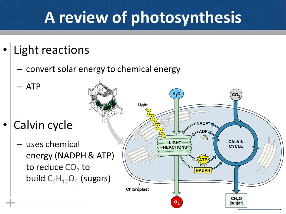 111313 today finish photosynthesis lecture the calvin cycle a review of photosynthesis ccuart Gallery