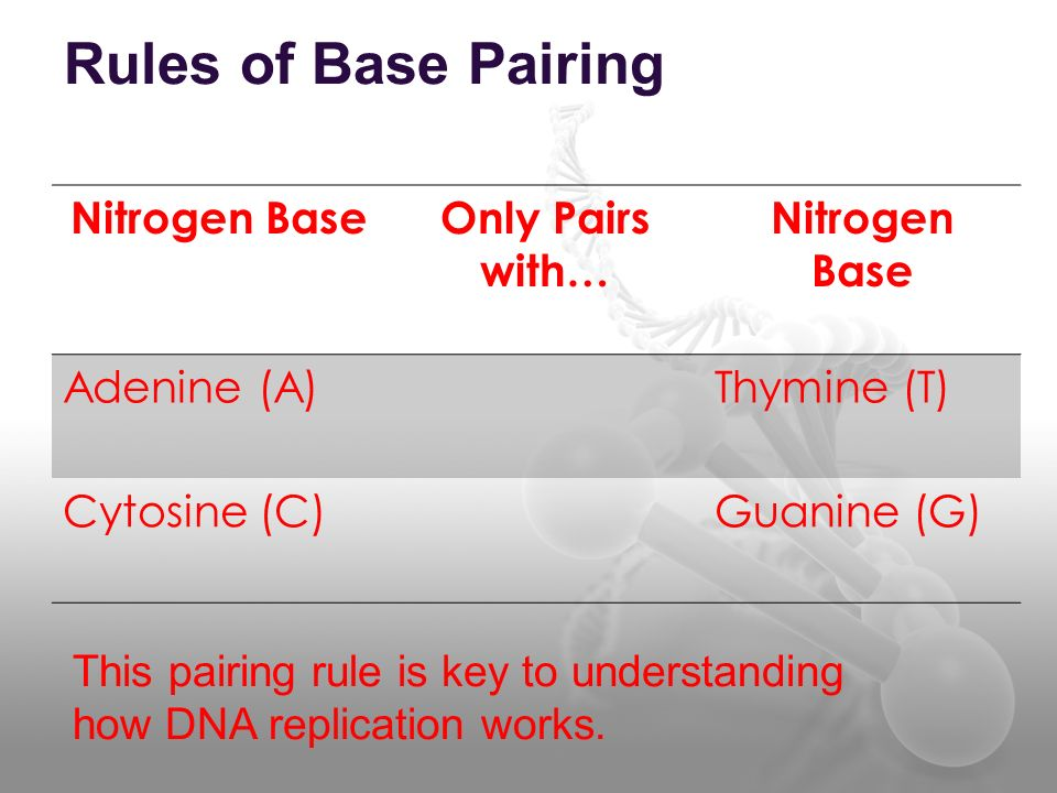 Rules of Base Pairing Nitrogen Base Only Pairs with… Adenine (A)