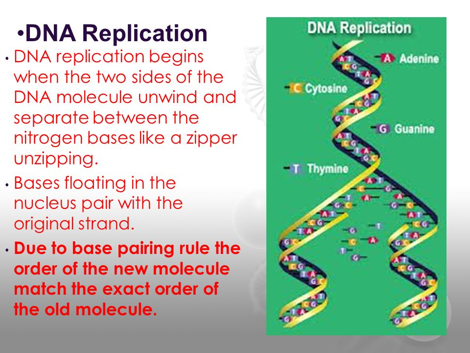 DNA Replication DNA replication begins when the two sides of the DNA molecule unwind and separate between the nitrogen bases like a zipper unzipping.
