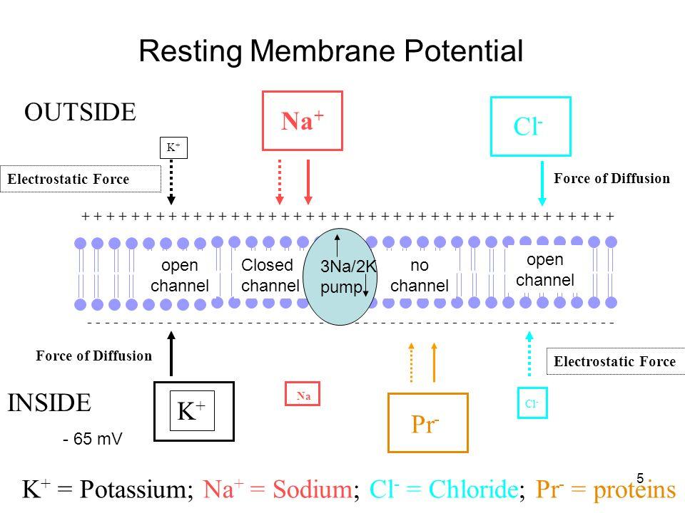 Membrane Potentials Resting Membrane Potential - ppt video ...
