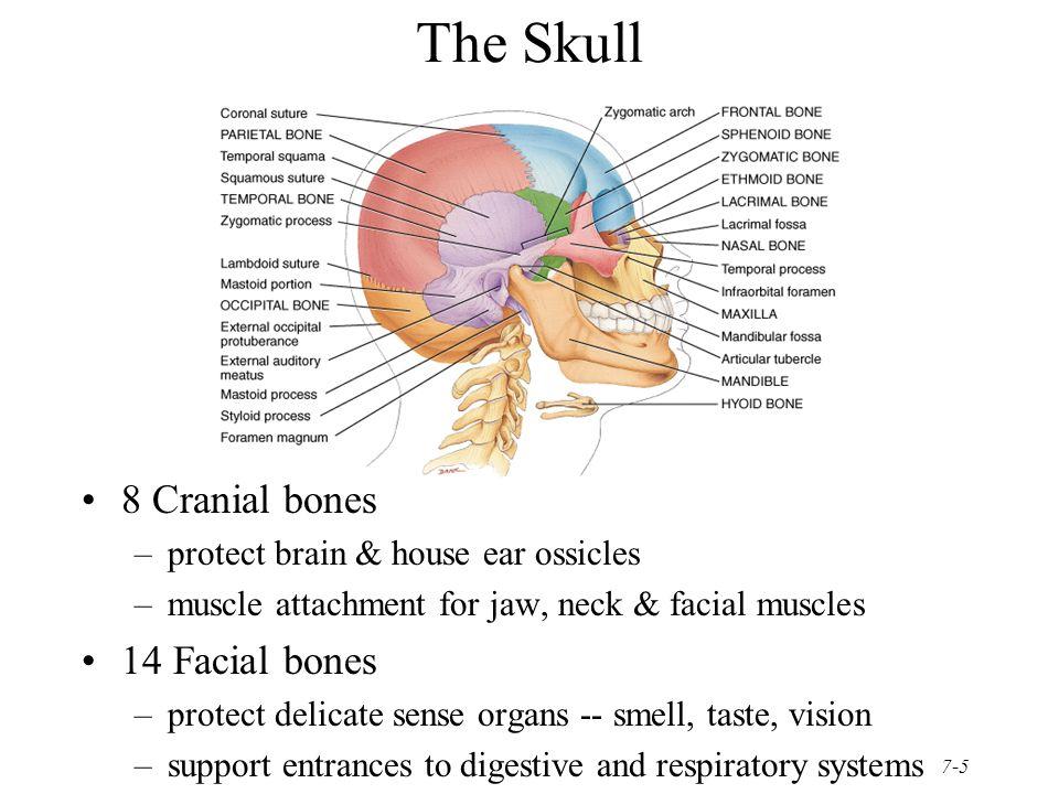 Diagram Of 14 Facial Bones Block And Schematic Diagrams