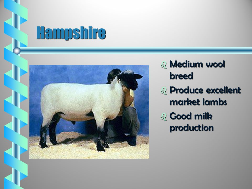Mrs Bennetts Breeds Of Sheep Ppt Video Online Download