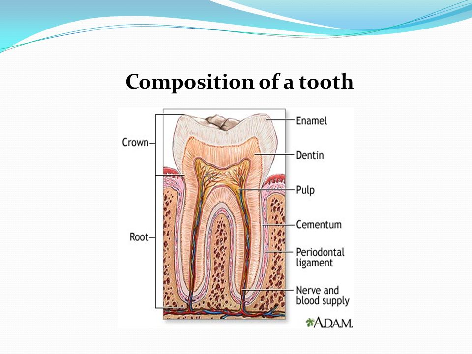 Anatomy Every Tooth Consists Of A Crown And One Or More Roots The