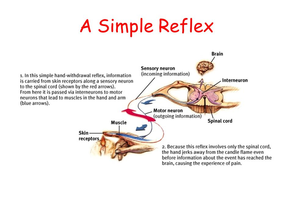 I bet your neurons are all fired up now ppt video online download 33 a simple reflex ccuart Gallery