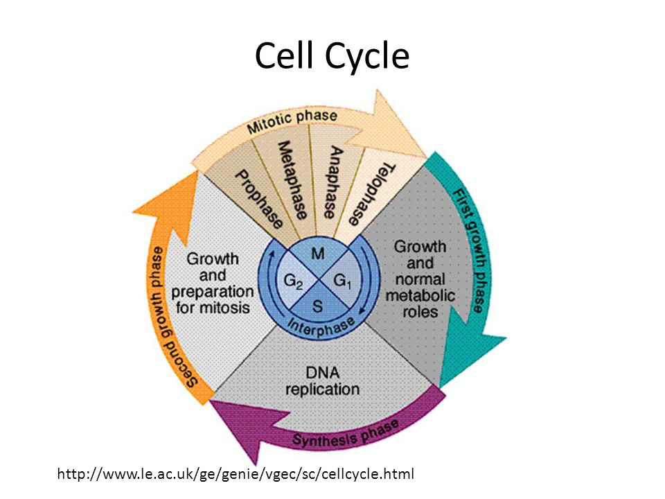 Cell cycle and mitosis ppt video online download 2 cell cycle ccuart Gallery