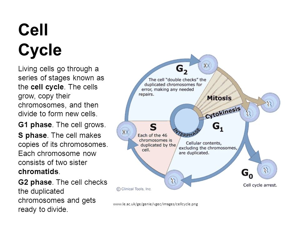 Cell cycle and mitosis ppt video online download cell cycle ccuart Gallery