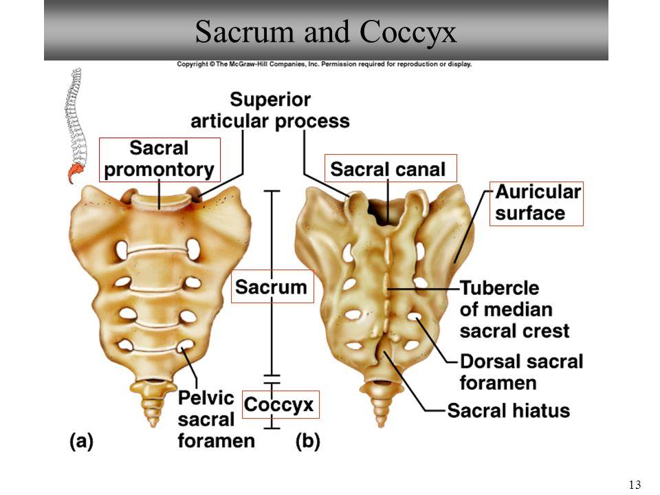 Spinous Tubercles Sacrum Anatomy Diagram Block And Schematic