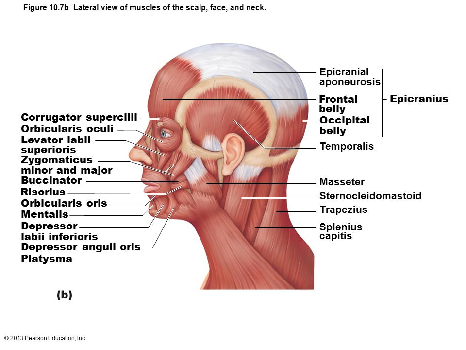 Muscles of the Head Two groups Muscles of facial expression - ppt ...