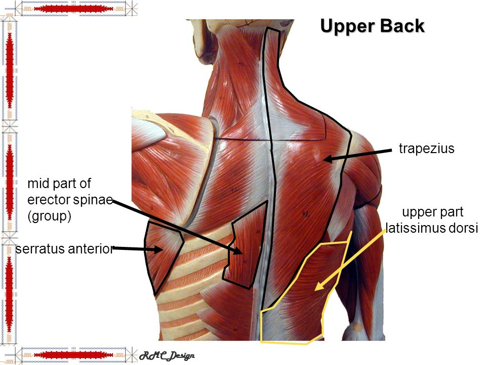 Head, Neck and Anterior Torso Muscles - ppt download
