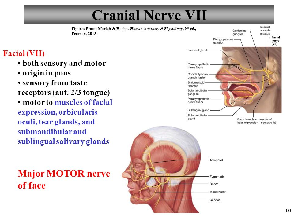 Famous Cranial Nerve 7 Anatomy Gallery - Human Anatomy Images ...