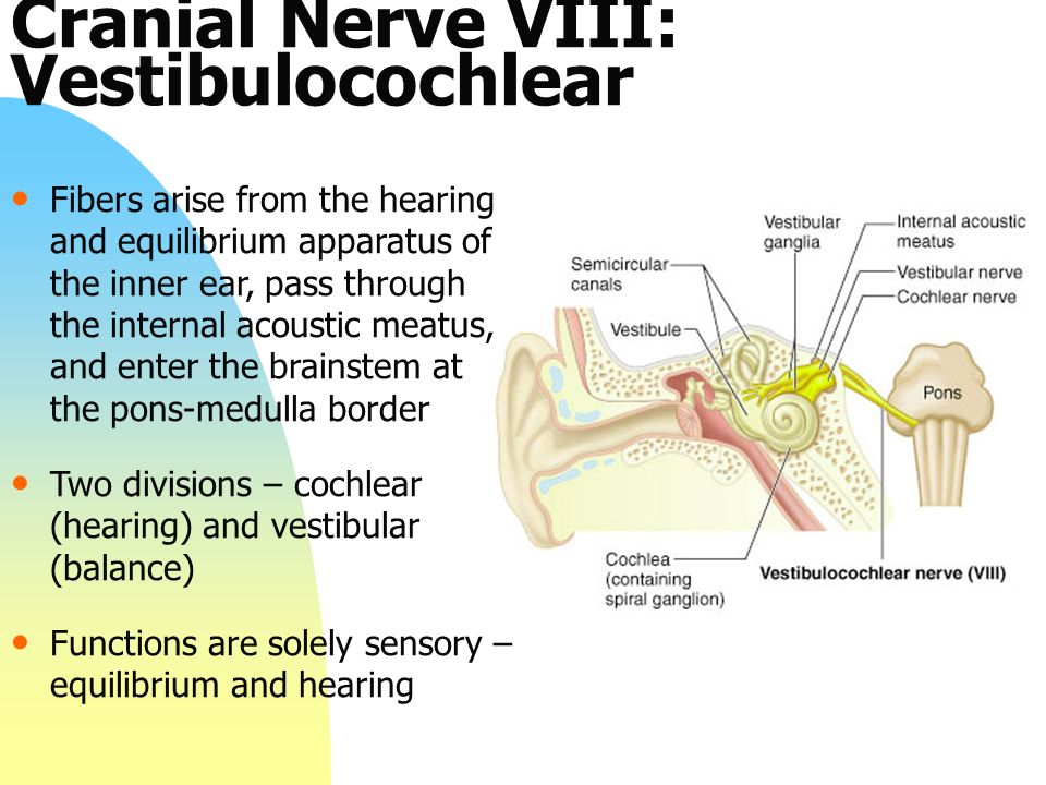 Review of The Cranial Nerves - ppt video online download