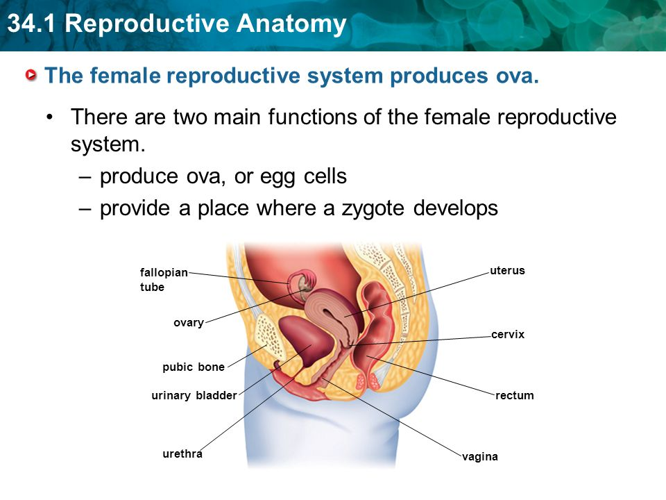 SC.912.L.16.13* Describe the basic anatomy and physiology of the ...