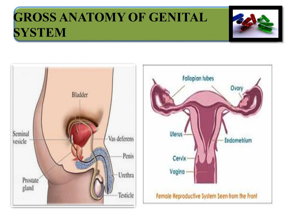 Anatomy Of Genital System Ppt Video Online Download