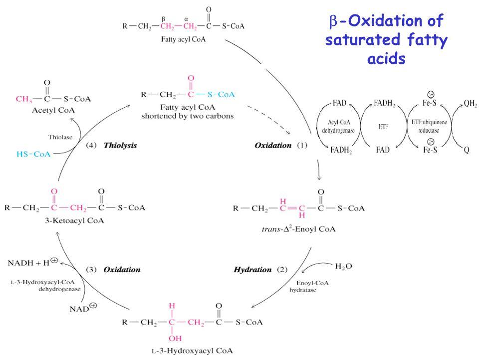 12 b-oxidation