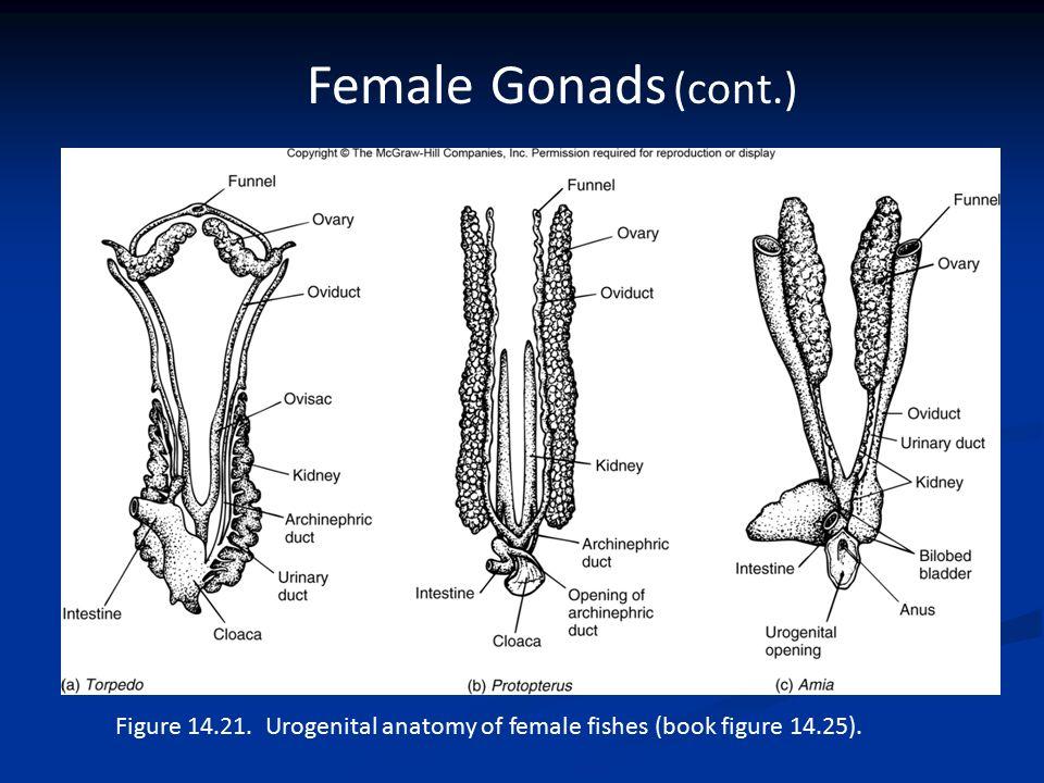Gonad Frog Anatomy Diagram - Explore Schematic Wiring Diagram •