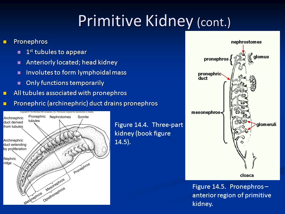 Comparative Anatomy Urogenital System - ppt video online download