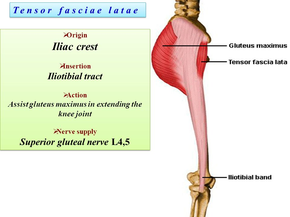 Gluteal region. - ppt download