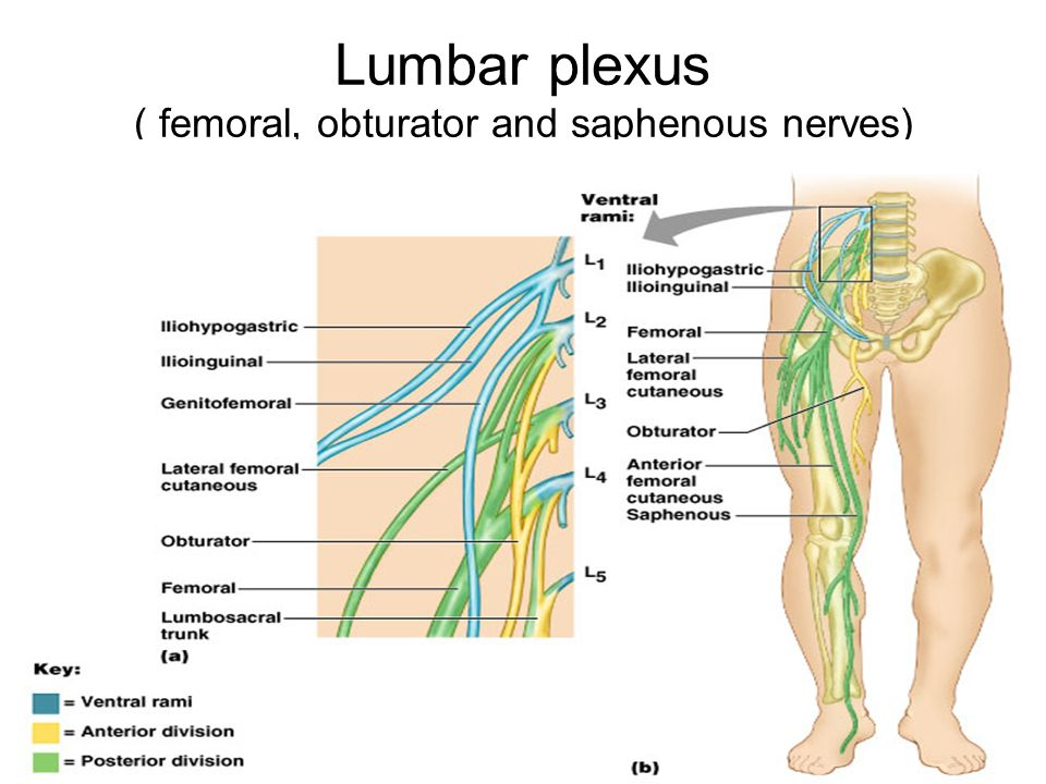 12 lumbar plexus femoral obturator and saphenous nerves
