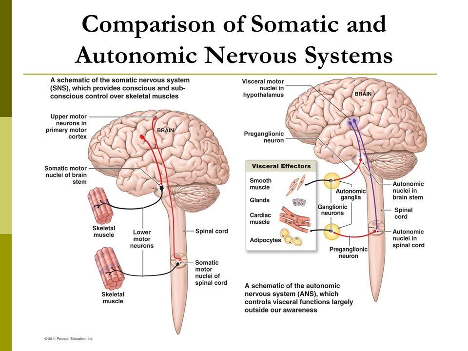 The autonomic nervous system ppt video online download comparison of somatic and autonomic nervous systems 5 comparison ccuart Choice Image