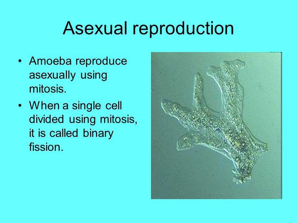 What reproduces asexually through mitosis definition