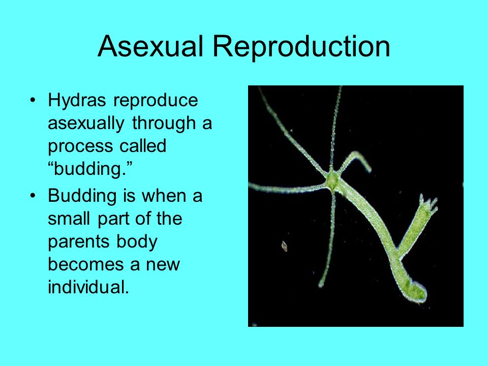 What does it mean to reproduce by budding asexual reproduction