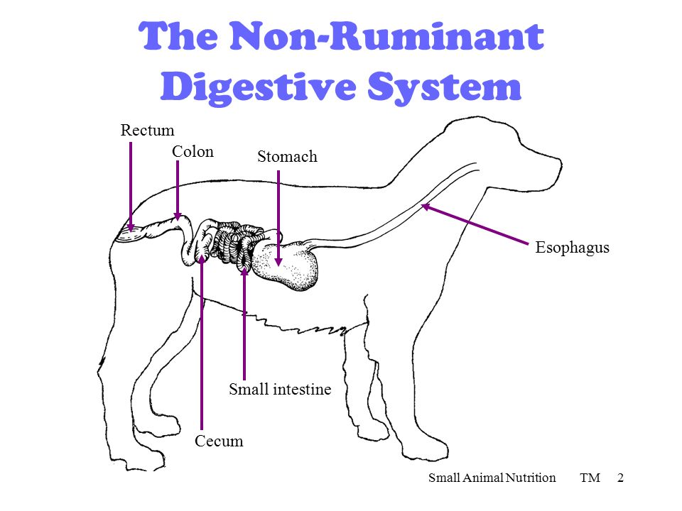The ruminant digestive system ppt video online download the non ruminant digestive system ccuart Gallery