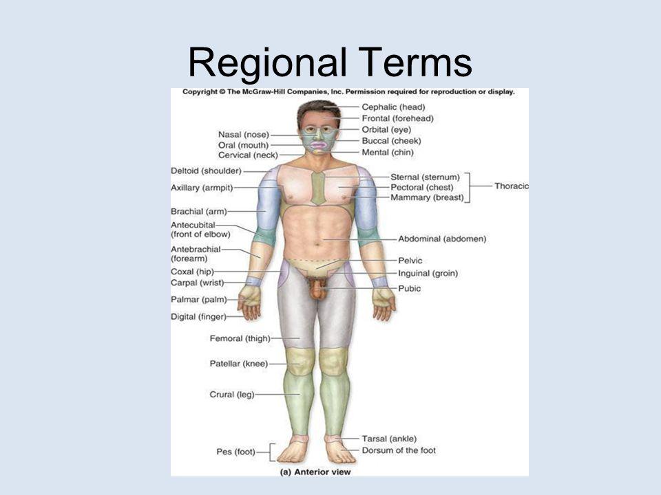 Body Regions Mcgraw Hill Diagram House Wiring Diagram Symbols