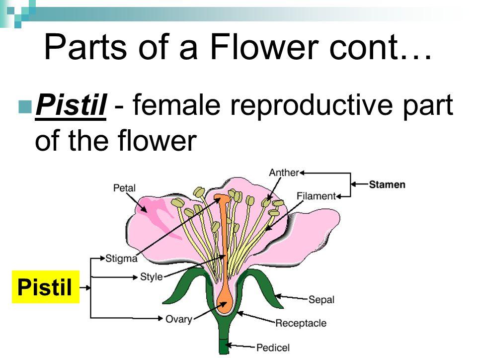 10 Parts of a Flower cont… Pistil - female reproductive part of the flower Pistil