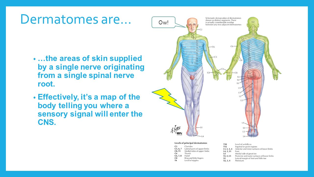 PNS Anatomy and Physiology - ppt download