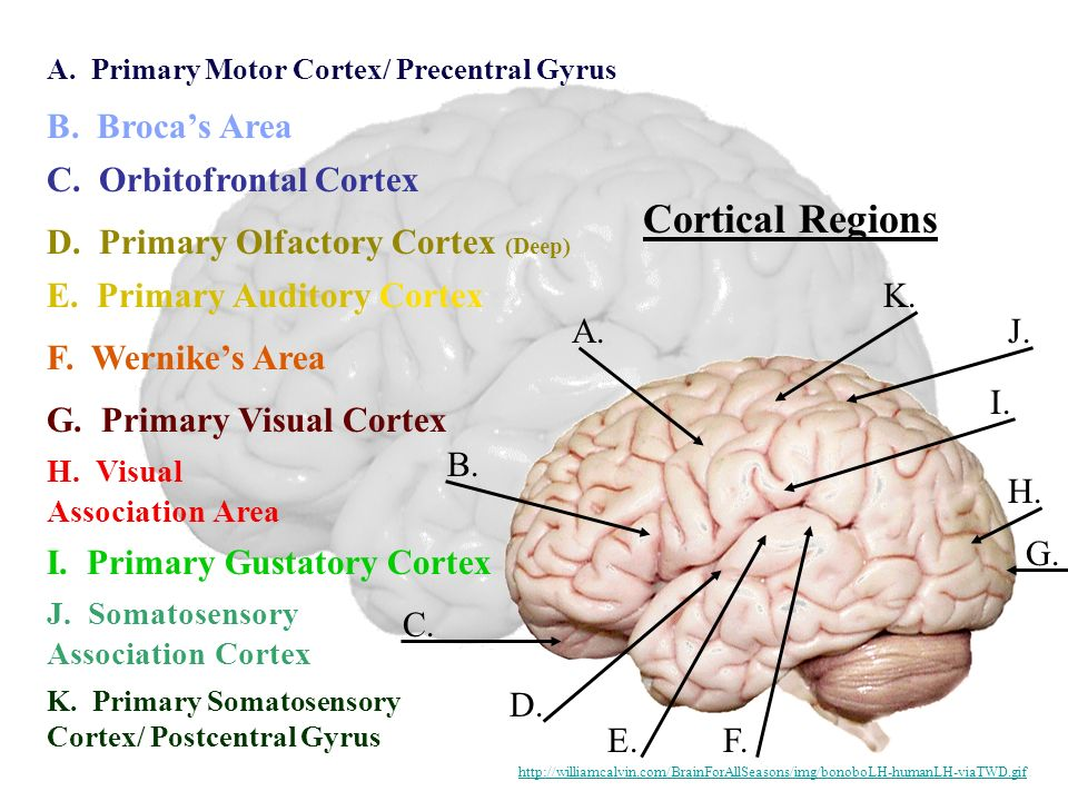 The Human Brain Master Watermark Image Ppt Video Online Downloadrhslideplayer: Primary Smell Cortex Location At Gmaili.net
