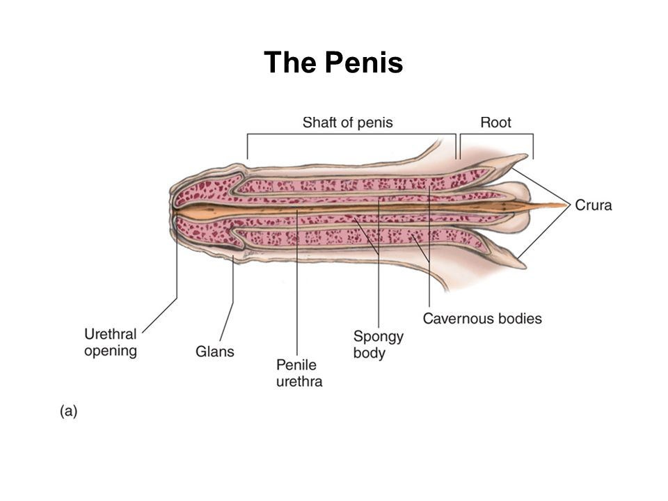 Chapter 4 Male Sexual Anatomy And Physiology Ppt Video Online Download